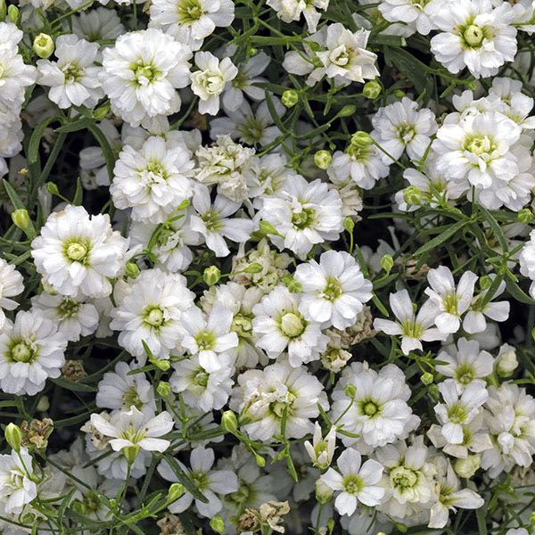 Gypsy White Improved baby's breath flowers