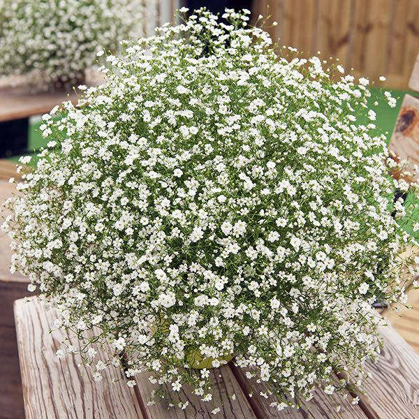 Gypsy White Improved baby's breath seeds - Gypsophila muralis