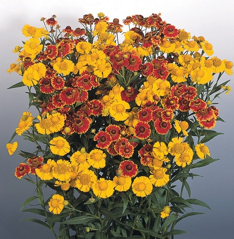 Helenium Helena Mix Large-flowered Sneezeweed
