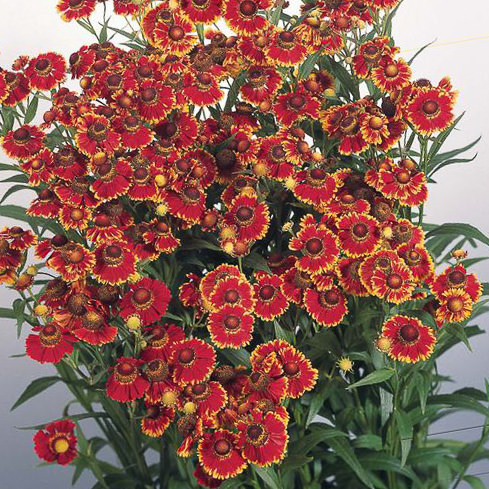 Helena Red Shades helenium