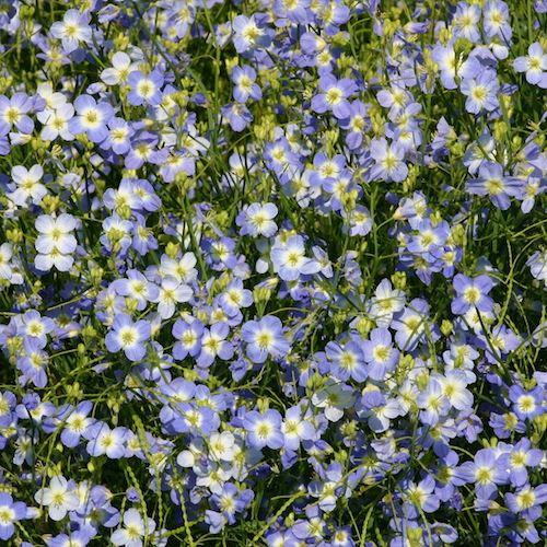 Blue Diamonds Heliophila seeds