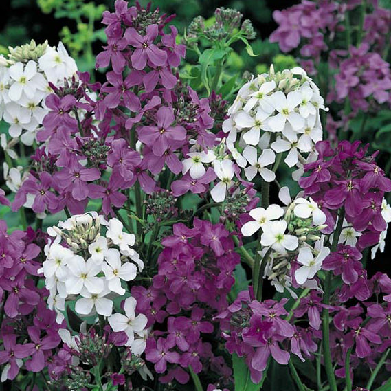 Dame's Rocket Mix - Hesperis matronalis