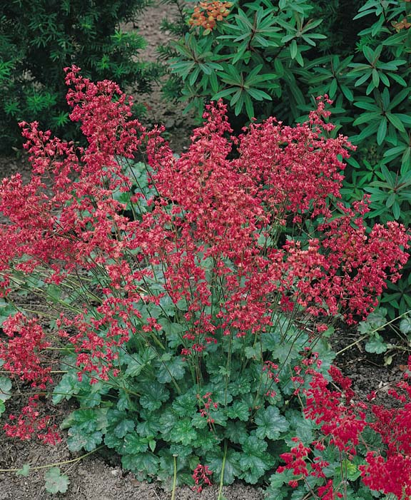 Coral bells seeds 6 top heucheras perennial flower seeds coral bells firefly heuchera sanguinea splendens mightylinksfo