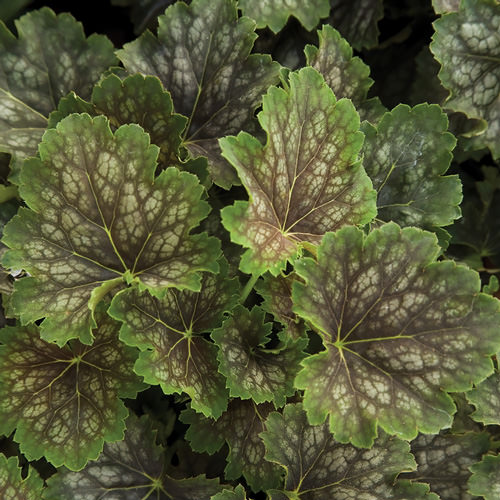 Coral Bells Seeds 6 Top Heucheras Perennial Flower Seeds