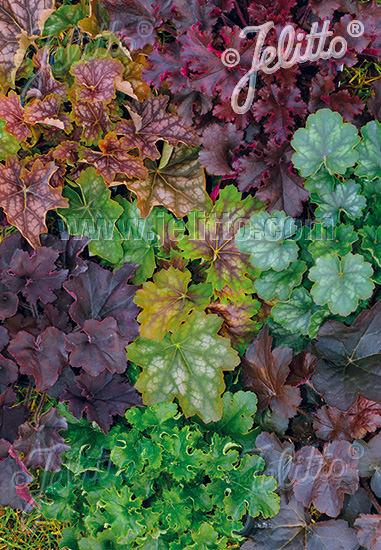 Coral Bells Newest Hybrids - Heuchera americana x micrantha