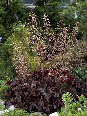 Coral Bells Melting Fire Heuchera x micrantha - Perennial Flowers