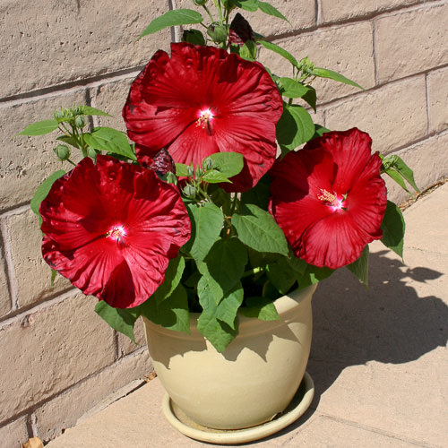 Honeymoon Deep Red Hibiscus in Container