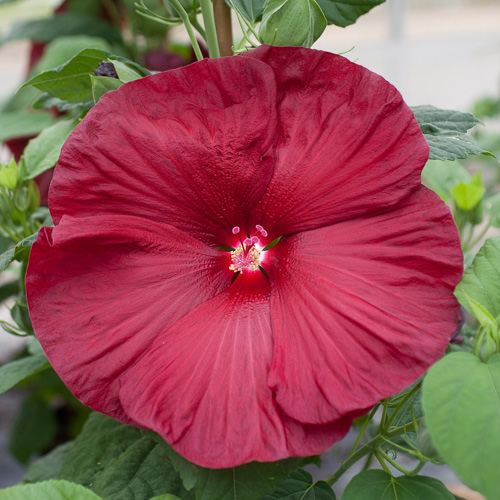 Hibiscus Honeymoon Deep Red - Hibiscus moscheutos