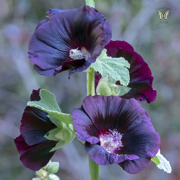 Hollyhock Blacknight flowers