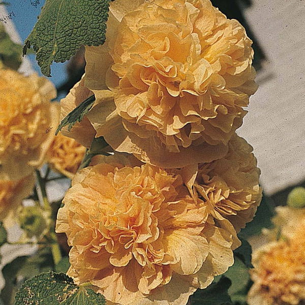 Hollyhock Chater's Double Apricot