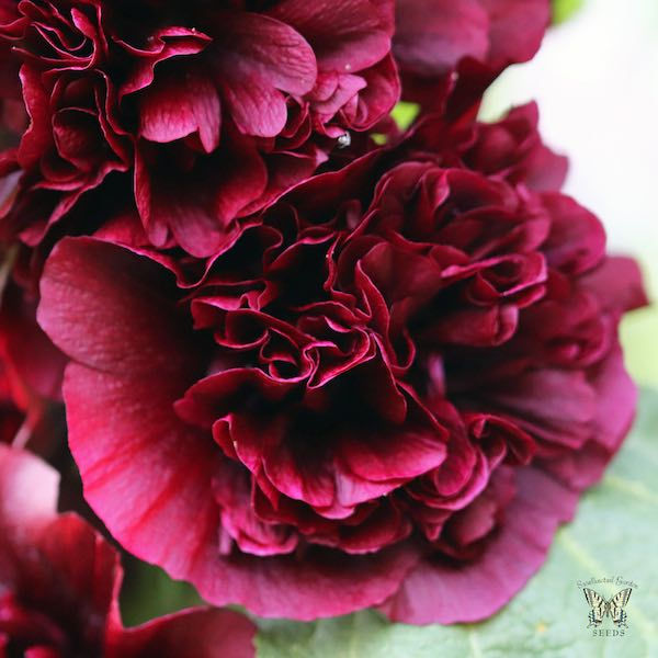 Hollyhock Chater's Maroon