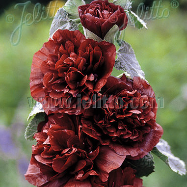 Hollyhock Chater's Chestnut Brown