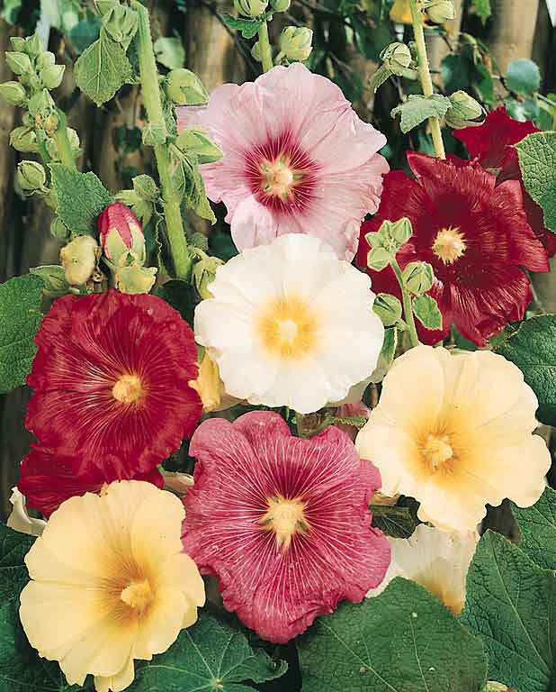 Antwerp Fig Leaf Hollyhock