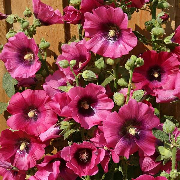 Hollyhock Halo Cerise flowers