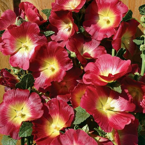 Hollyhock Halo Red flowers