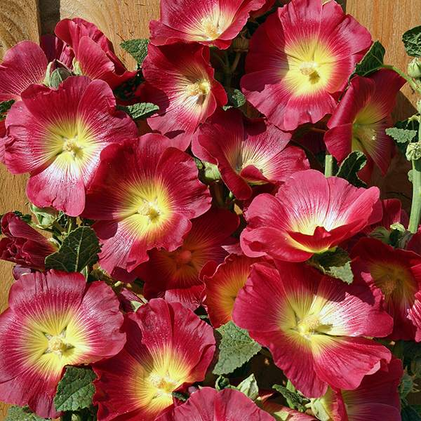 Hollyhock Halo Red flowers.