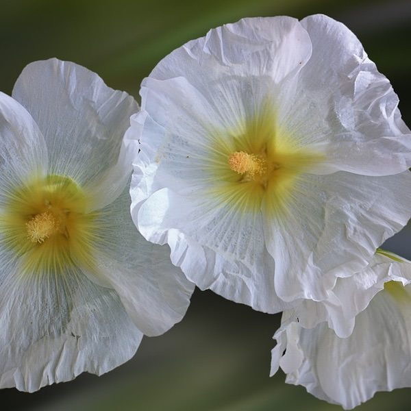 Hollyhock Halo White with huge white flowers with yellow centers.
