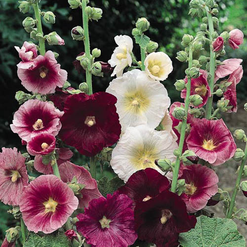 Hollyhock Indian Spring Mix