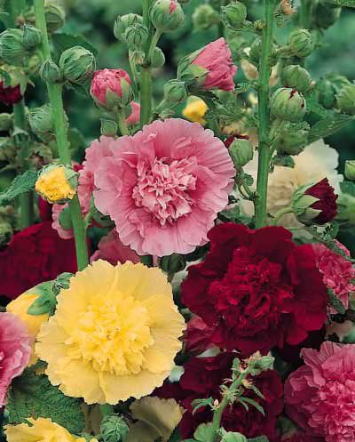 Hollyhock Majorette Mix with frilly, semi and fully double flowers on dwarf, 2 ft. plants.