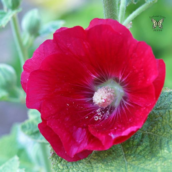 Hollyhock Mars Magic flower