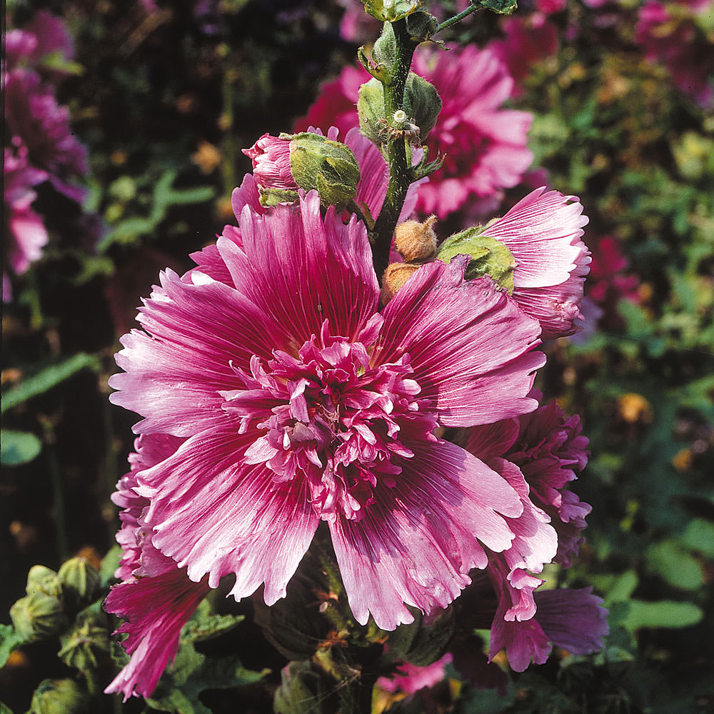 Hollyhock Queeny Dwarf Purple