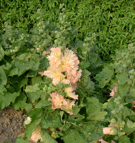 Hollyhock Spring Celebrities Apricot