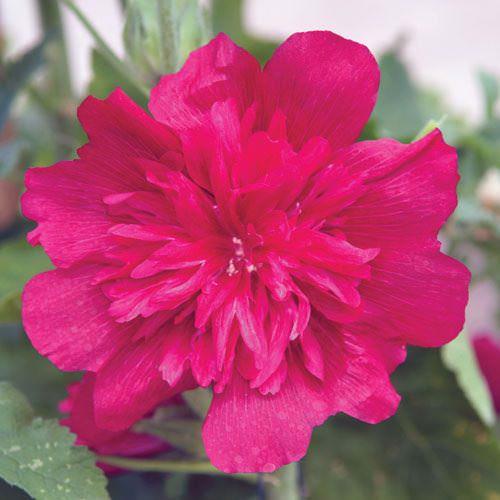 Alcea rosea Spring Celebrities Carmine-rose hollyhocks