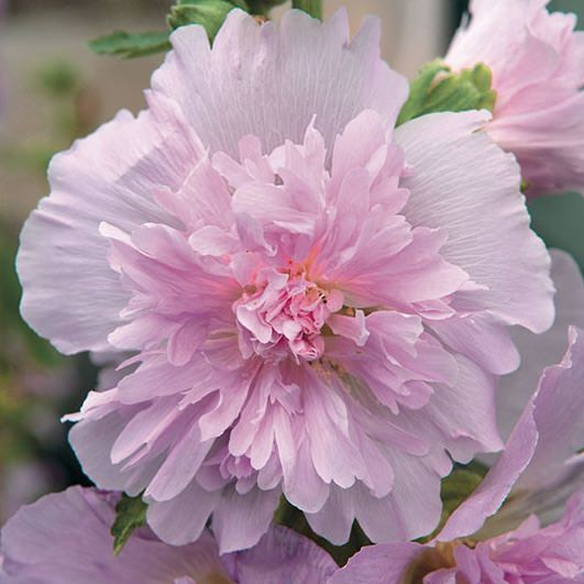 Spring Celebrities Lilac hollyhock, a dwarf 3 ft. tall plant, with lilac, ruffled, 3 in. flowers.