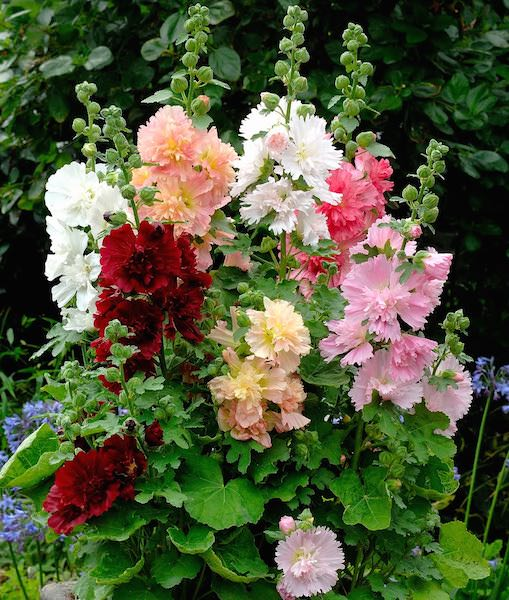 Hollyhock Spring Celebrities Mix