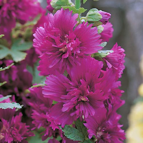 Alcea rosea Spring Celebrities Purple hollyhocks carry large, ruffled flowers on 3 ft. tall, dwarf plants.