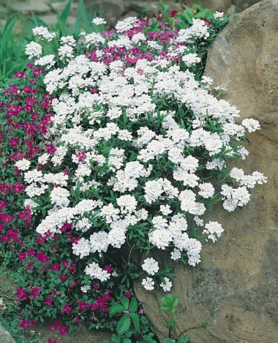Snowflake Candytuft flowers in spring.