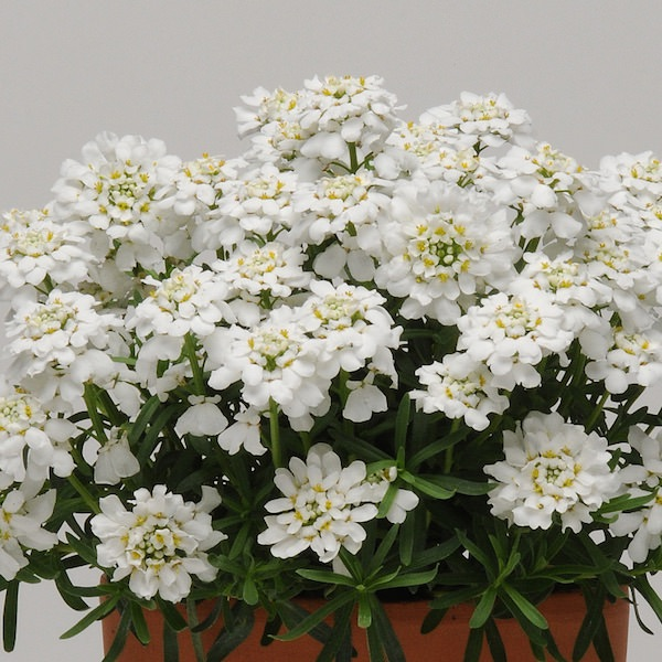 Whiteout candytuft growing in a perfect mound and covered in pure white spring flowers