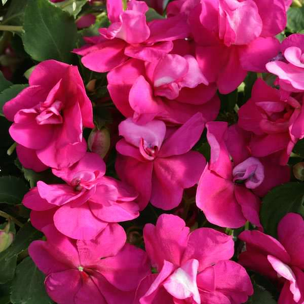 Impatiens Athena Bright Purple - Annual Flower Seeds
