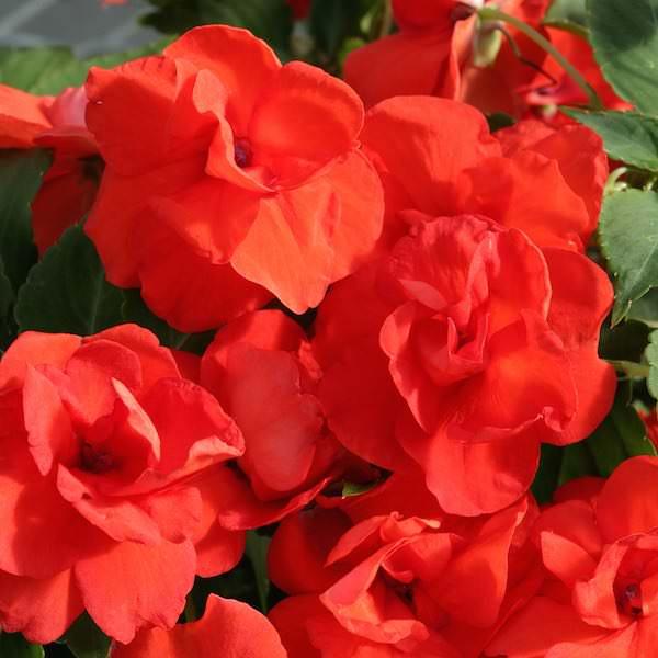 Impatiens Athena Orange - Annual Flower Seeds