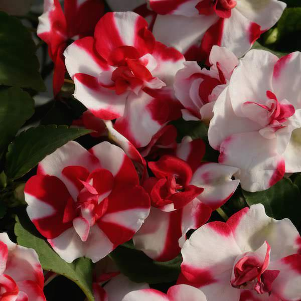 Impatiens Athena Red Flash