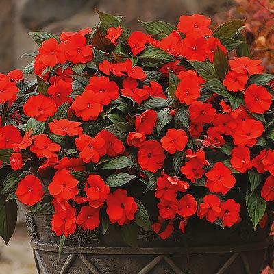 Impatiens Divine Bronze-Leaf Orange New Guinea