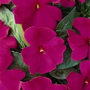Impatiens Divine Violet New Guinea
