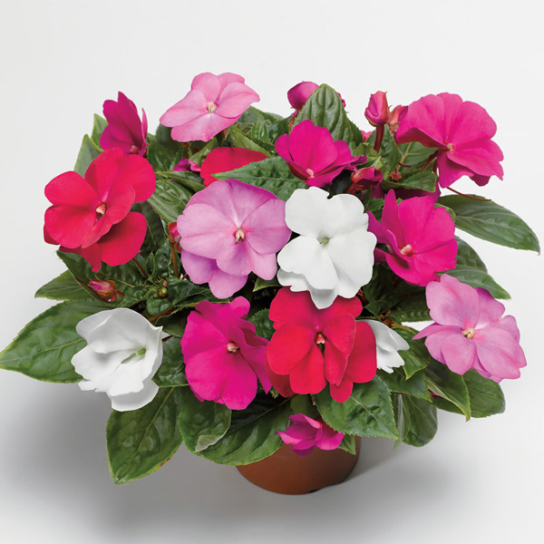 Impatiens New Guinea Florific Mix