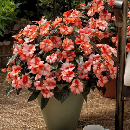 Impatiens Florific Sweet Orange New Guinea - Annual Flower Seeds