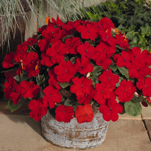 Lollipop Cherry Red impatiens in container