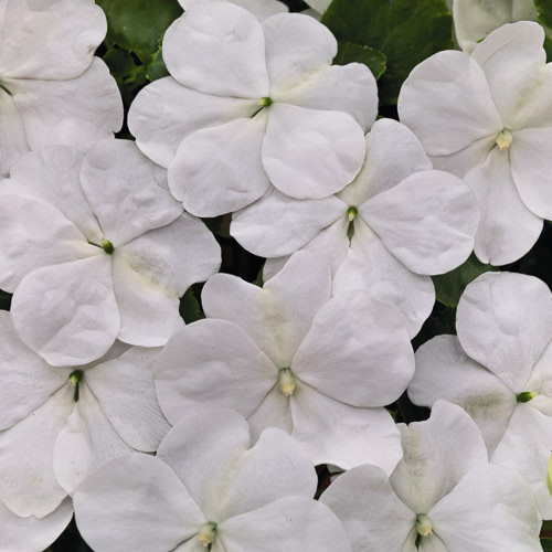 Impatiens Lollipop Coconut white flowers