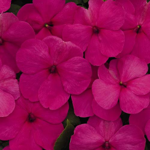 Impatiens Lollipop Fruit Punch Rose flowers