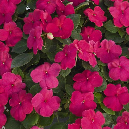 Impatiens Lollipop Fruit Punch Rose seeds