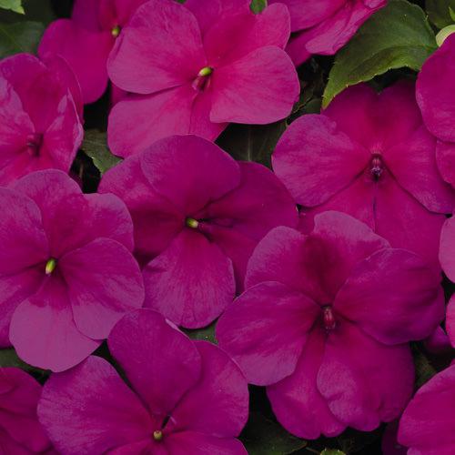 Lollipop Raspberry Violet impatiens