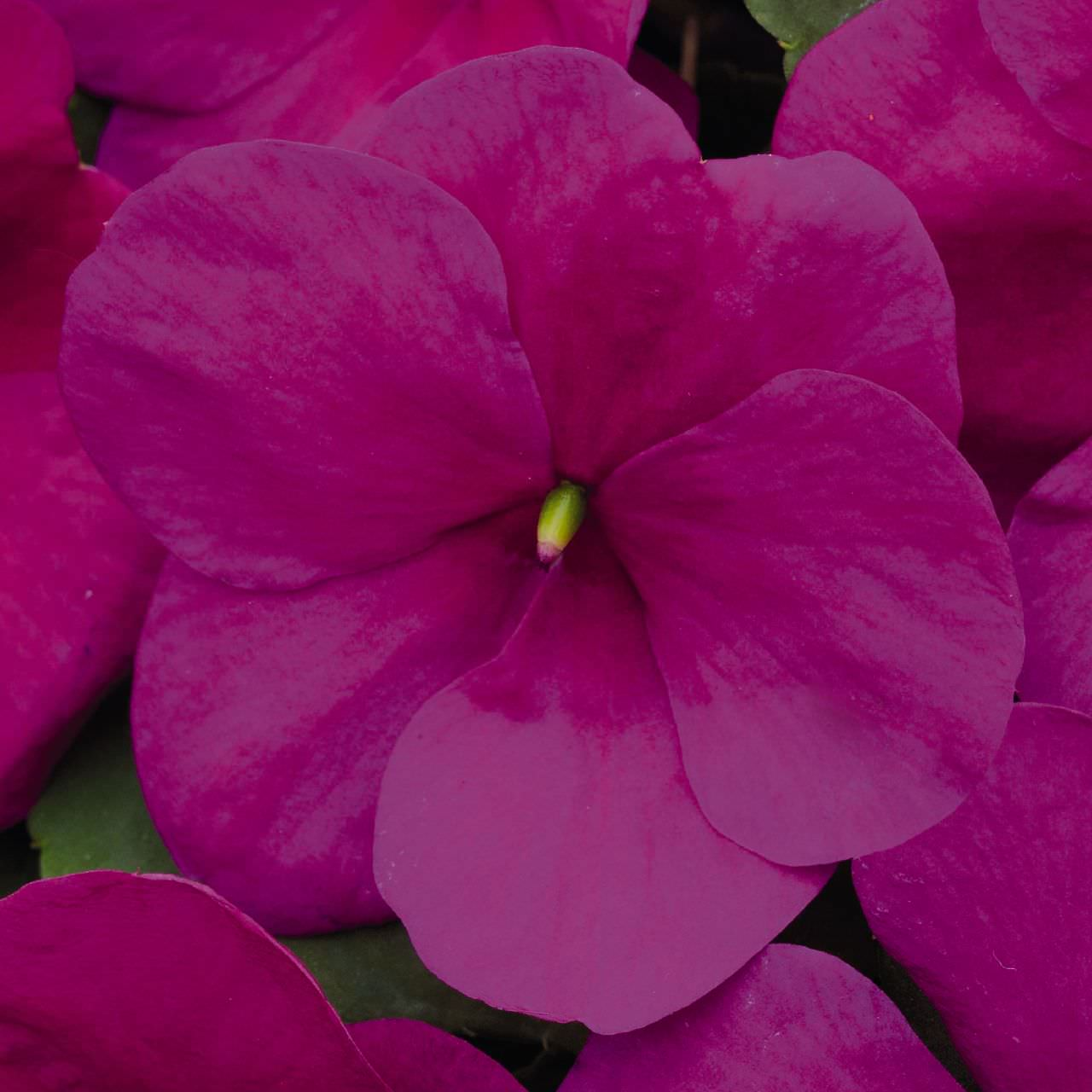 Impatiens seeds 30 impatiens annual flower seeds impatiens lollipop raspberry violet annual flowers mightylinksfo