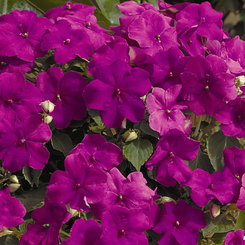 Impatiens Xtreme Lilac - Annual Flower Seeds