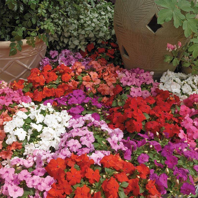 Impatiens Xtreme Mix - Annual Flower Seeds