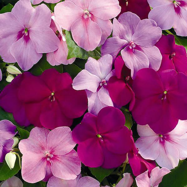 Impatiens Xtreme Sapphire Mix - Annual Flower Seeds