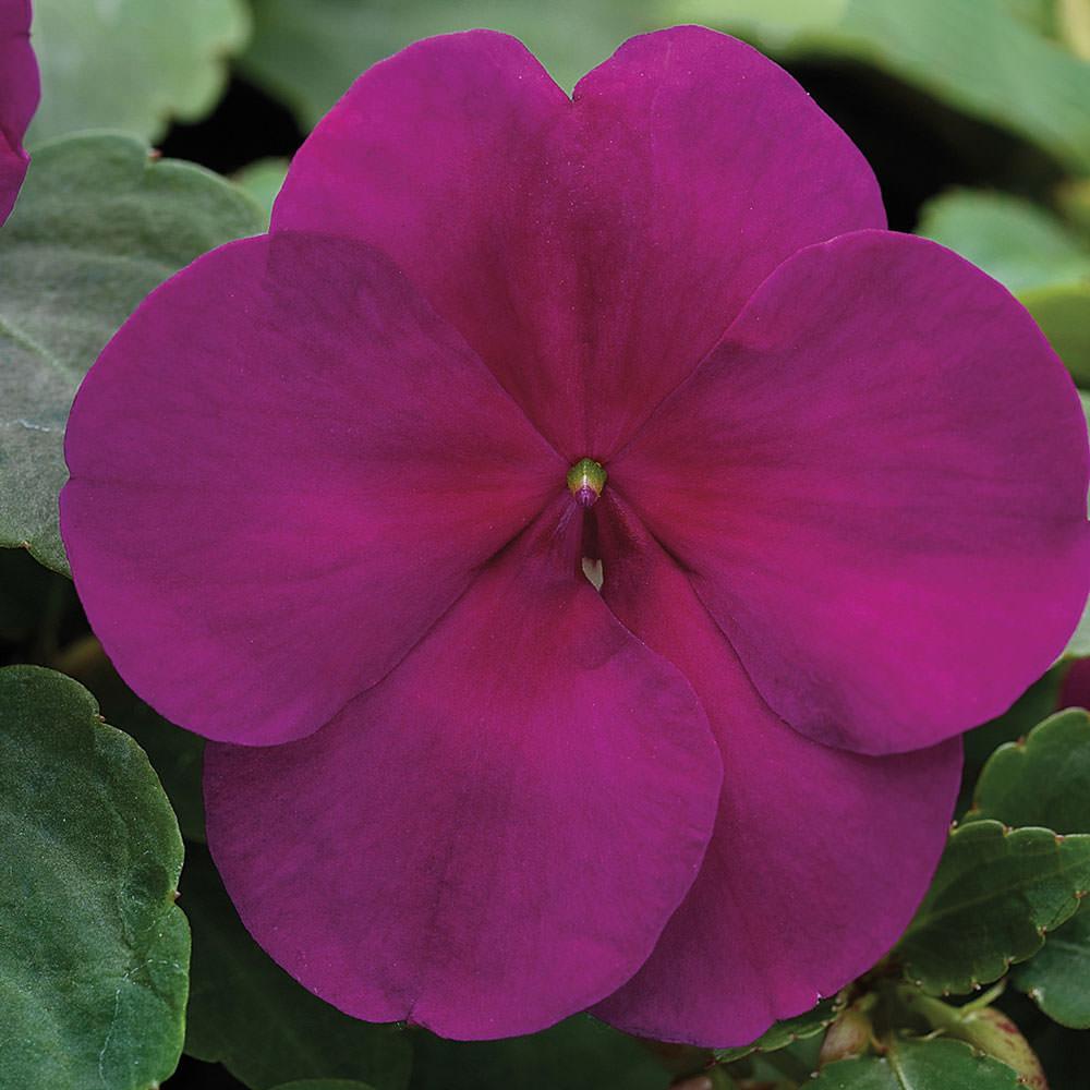 Xtreme Violet impatiens seeds