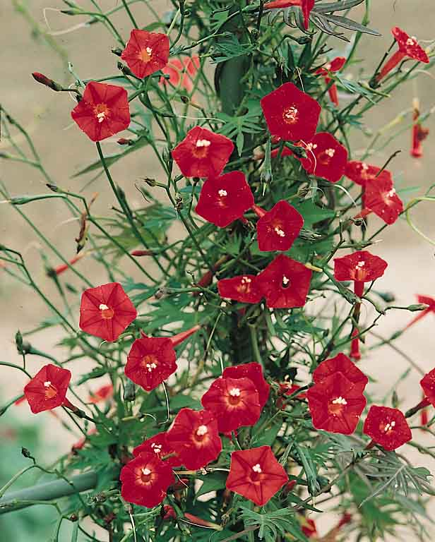 Cardinal Climber Seeds Flowering Vine Seeds